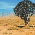 A Kokerboom or Quiver Tree