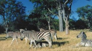 Zebras in Moremi