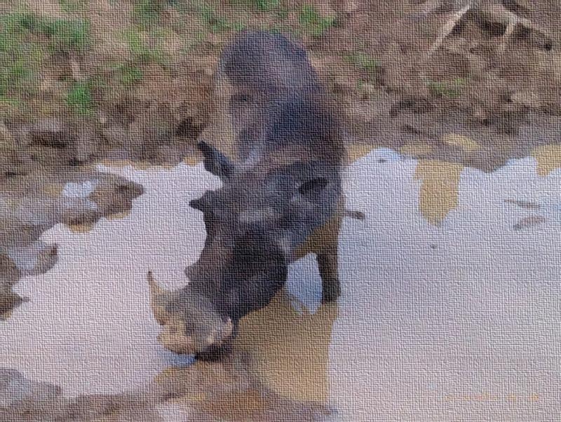 Warthog contemplating a bath...