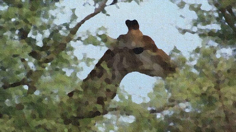 Giraffe framed by Acacia...