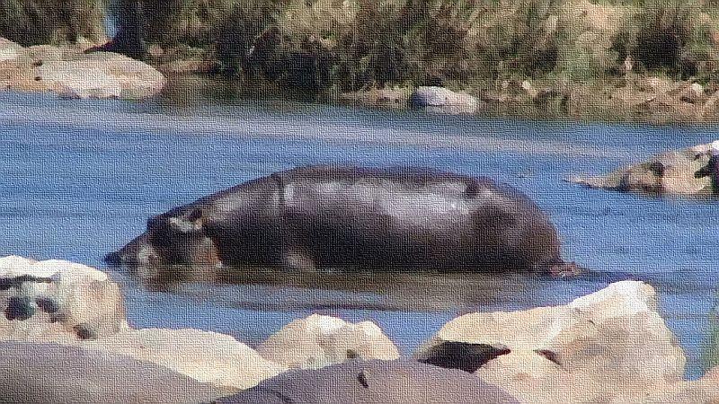 Hippo in the Crocodile river...